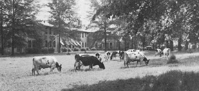 Dairy cattle in front of the dairy building