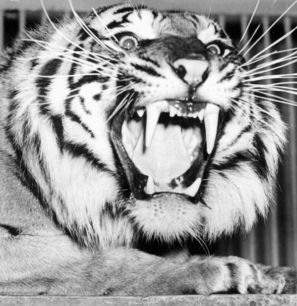 The University of Missouri Tiger Shows his Fangs
